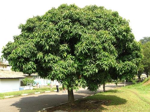 Các loại cây ăn quả ít rụng lá làm đẹp cảnh quan . - Nhà Đất Củ Chi